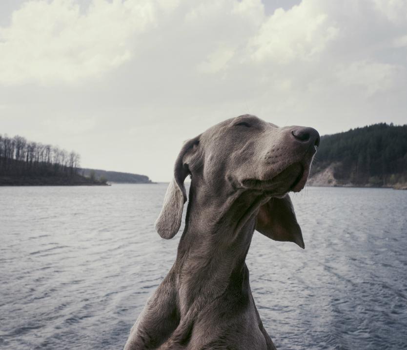 companion animal dog adventuring on river
